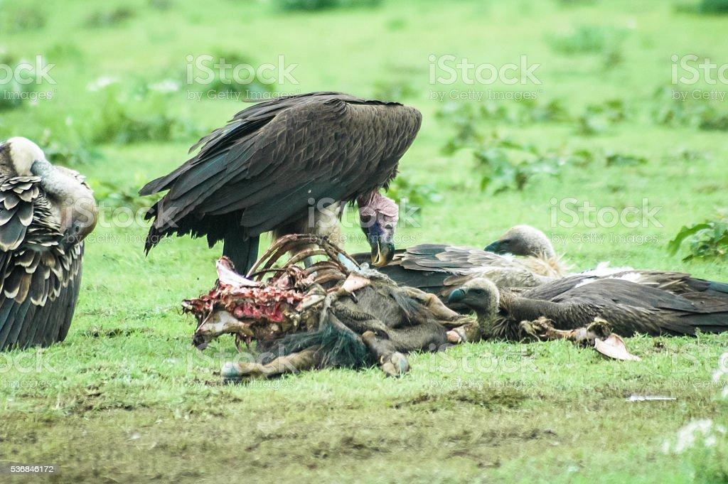 Vultures feeding on a kill stock photo
