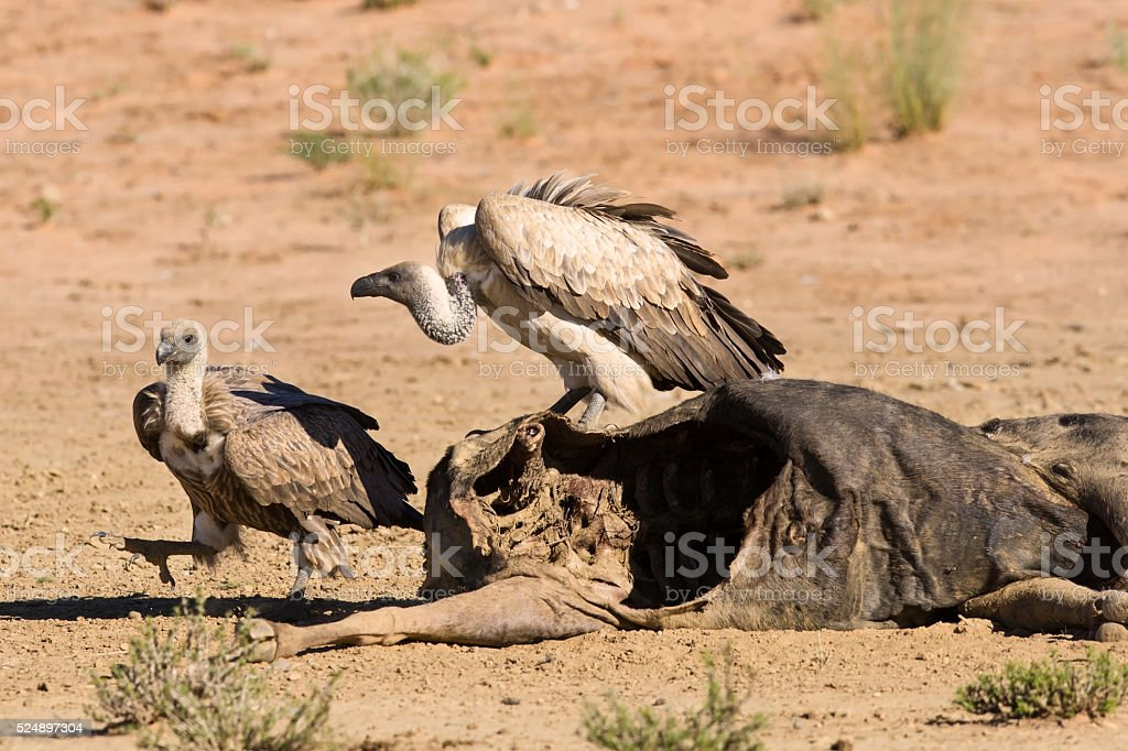 Vultures fighting at carcass for domination of the food stock photo