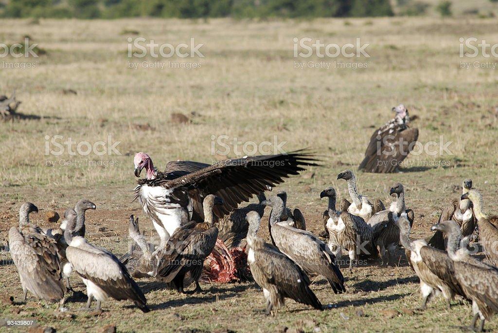 Truthähne kämpfen für Karkasse Lizenzfreies stock-foto