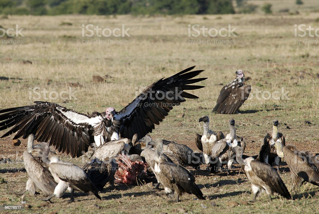 vultures fighting for carcass royalty-free stock photo