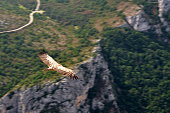 A griffon vulture uses the morning updraft of a ravine to slide majestically over the landscape.