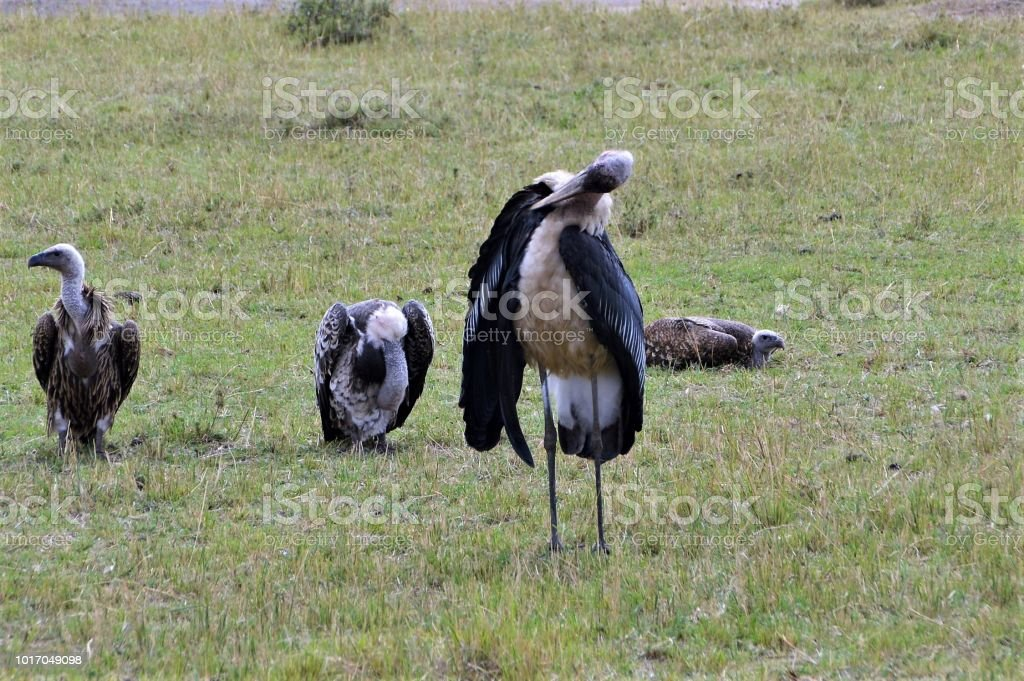 Vultures in the wild stock photo