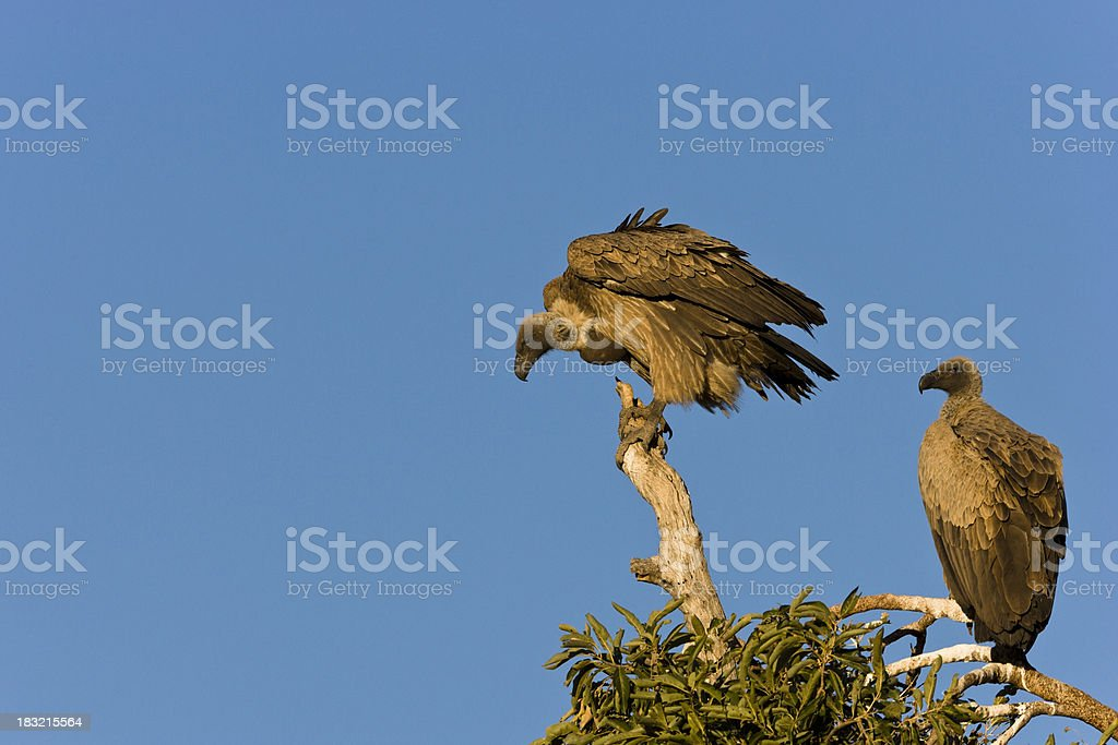 Vultures Looking Down royalty-free stock photo