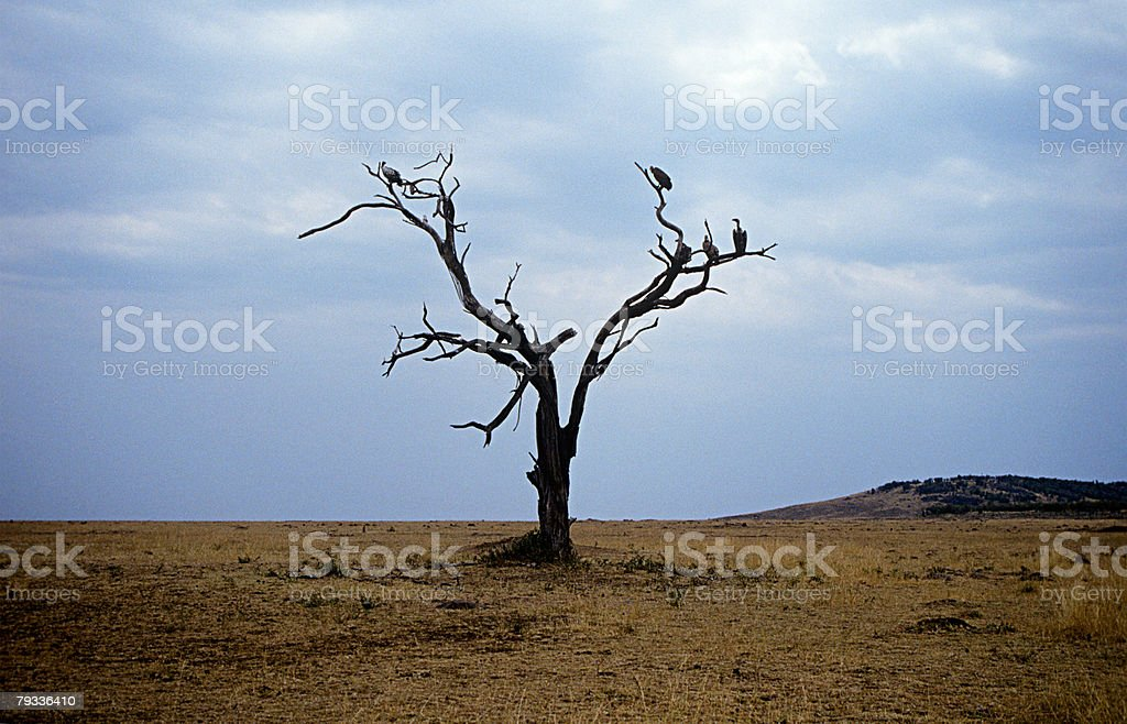 Vultures on a dead tree royalty-free stock photo