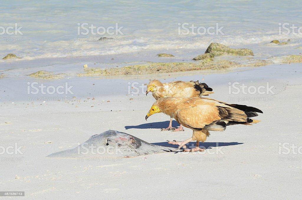 Vultures (Neophron Percnopterus) peck scat on shore of Arabian Sea stock photo