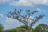Vulures siting on a dry Tree without Leaves in the Tarangire National Park, Tanzania