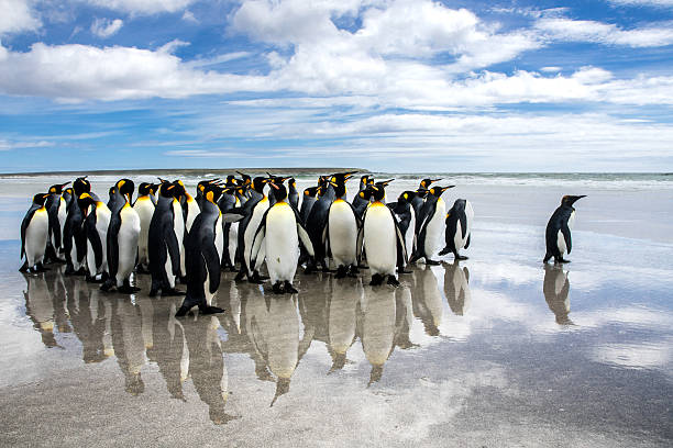 waddle of King penguins on the beach,  reflection in sand. stock photo