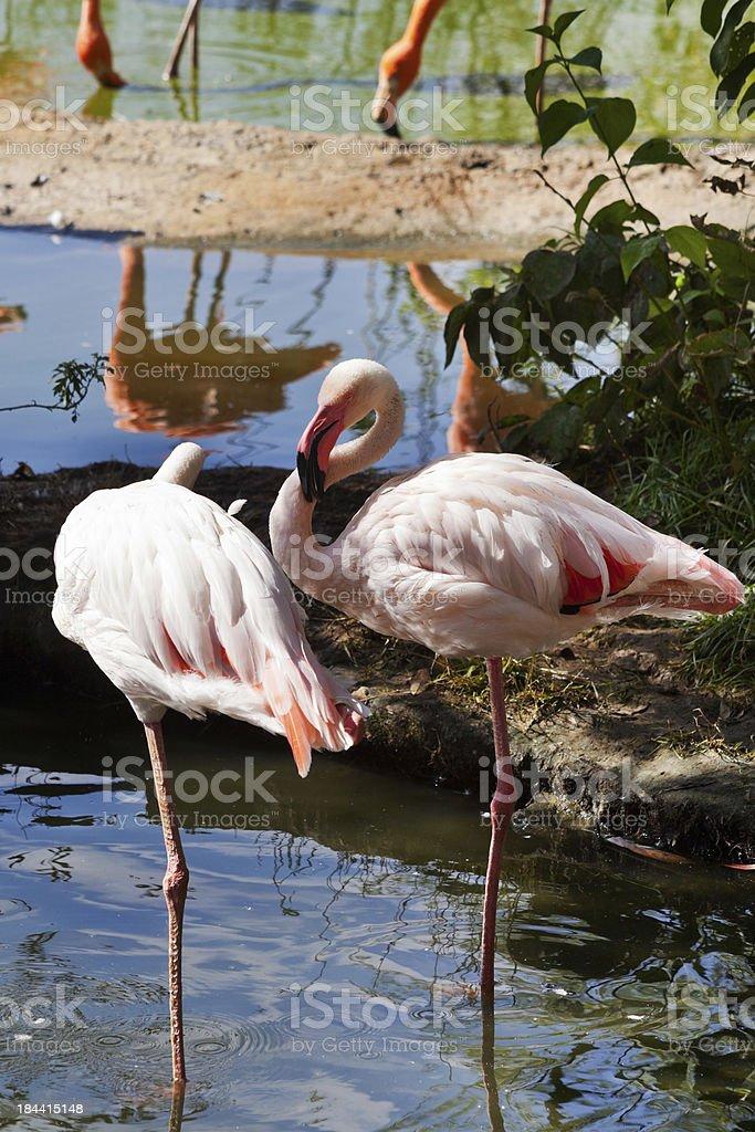 wading bird - flamingo royalty-free stock photo