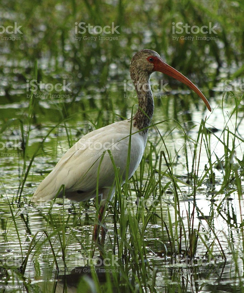 Wading Bird in Pond royalty-free stock photo