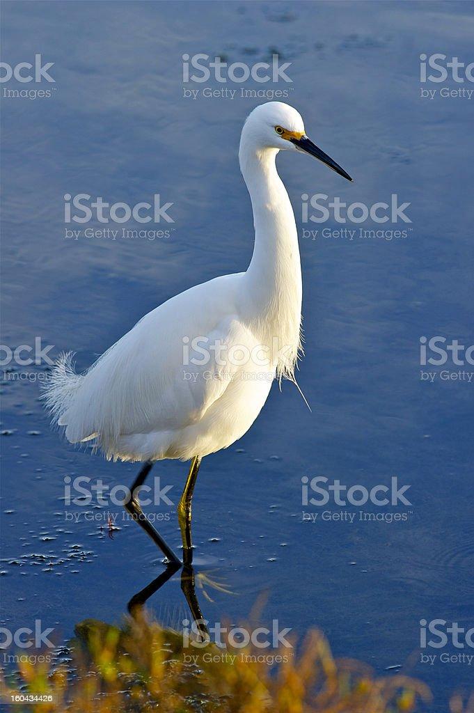 Wading Bird royalty-free stock photo