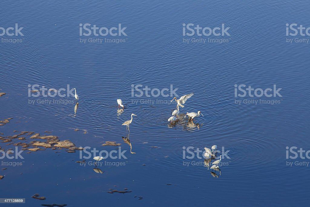 Wading birds in a blue lake royalty-free stock photo