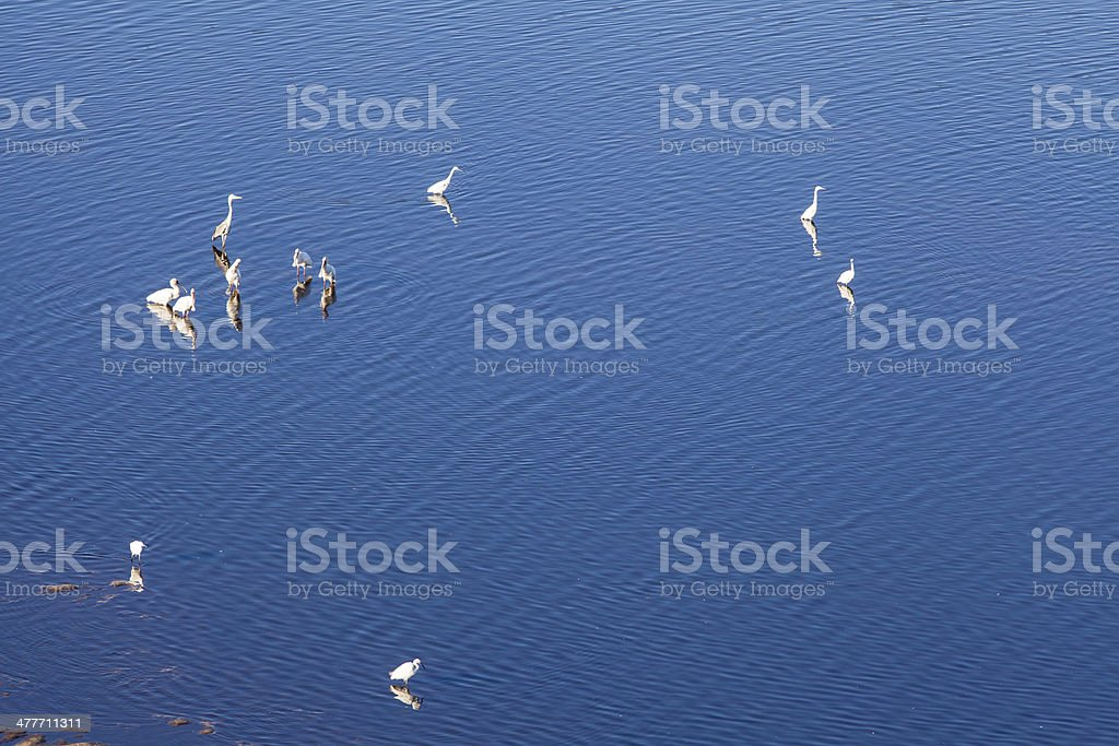 Wading birds in blue water royalty-free stock photo