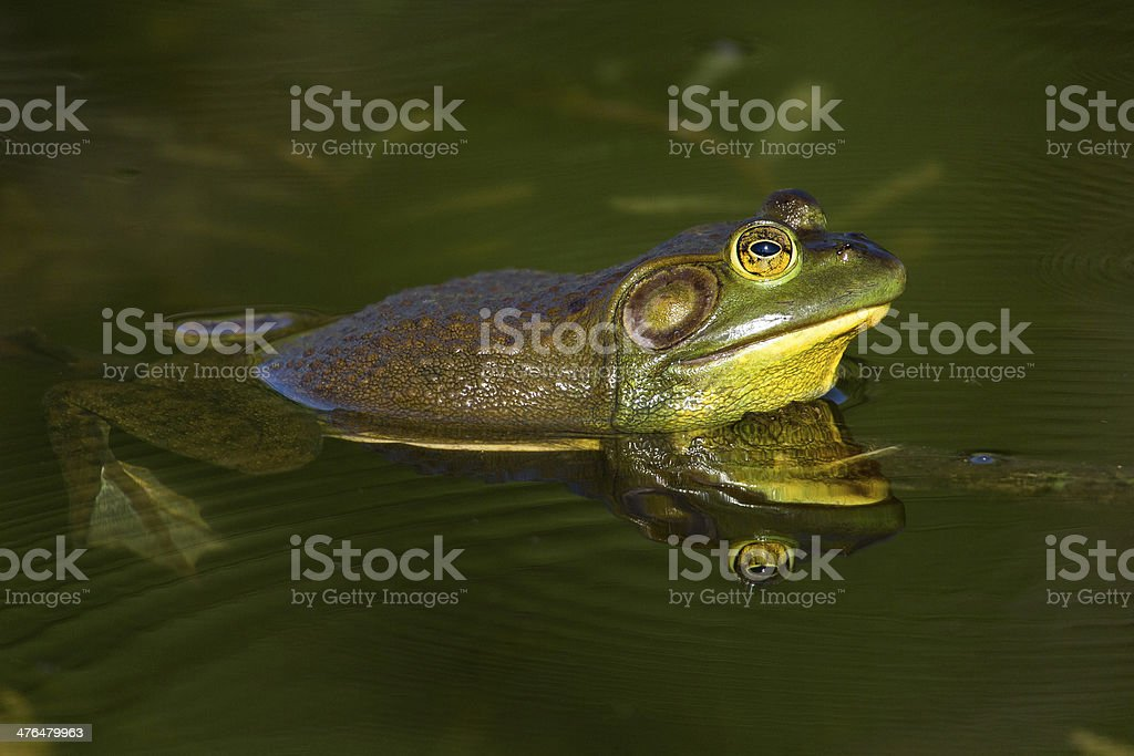 Wading Bullfrog stock photo
