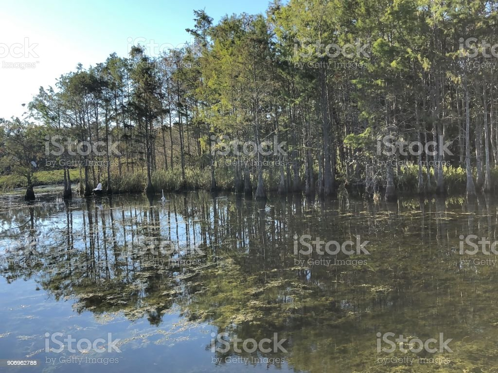 wading swamp birds stock photo
