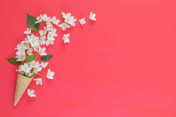Waffle cone with jasmine flower bouquet on pink background stock photo