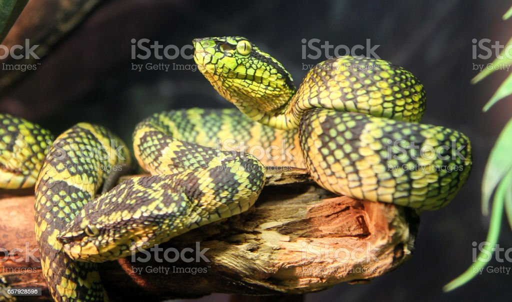 Wagler's palm viper snake stock photo