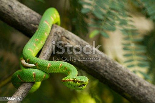 Wagler's pit viper (Tropidolaemus wagleri) on tree branch