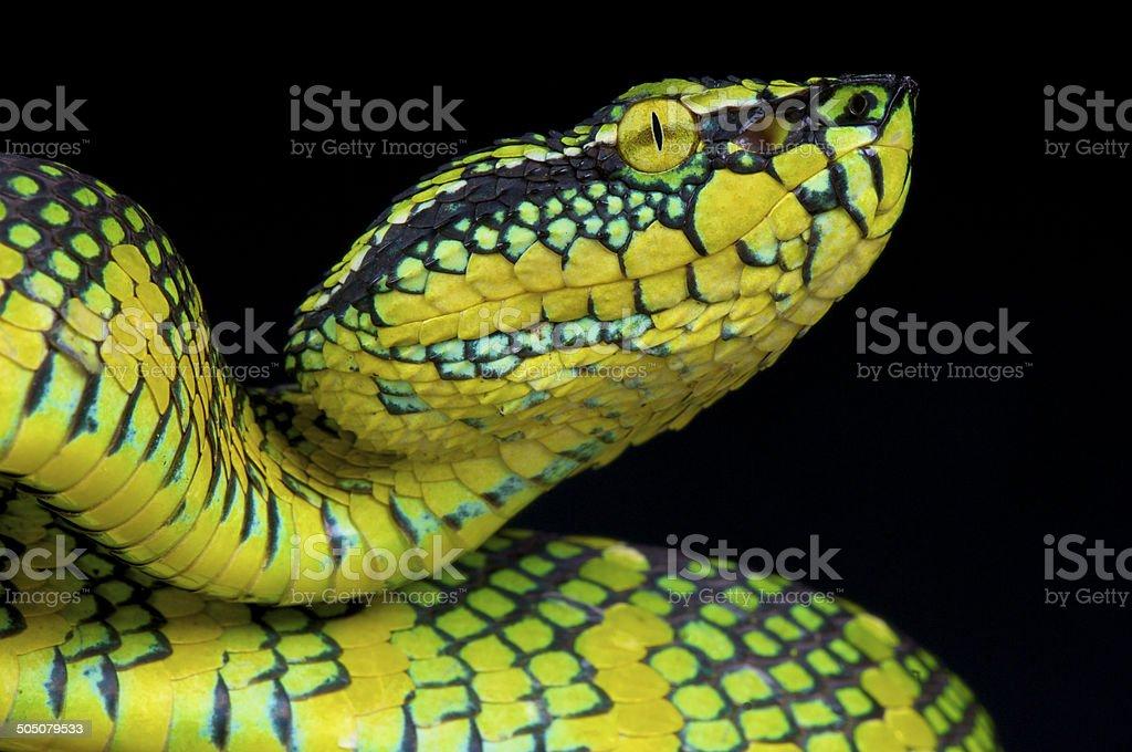 Wagler's pit viper / Tropidolaemus wagleri stock photo