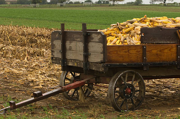 Wagon load of corn stock photo