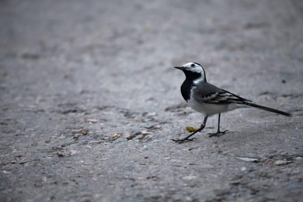 wagtail vogel nah an sitzen boden natur wild - spielerfrauen stock-fotos und bilder