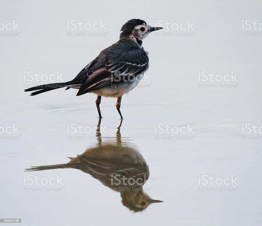 Wagtail bird on lake royalty-free stock photo