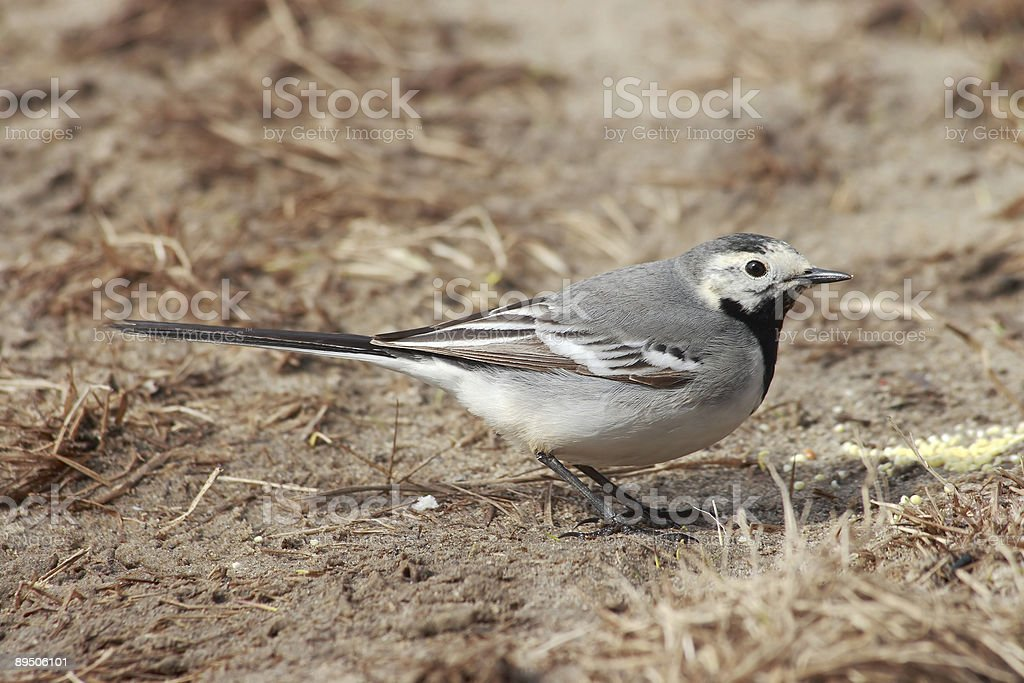 Wagtail. royalty-free stock photo