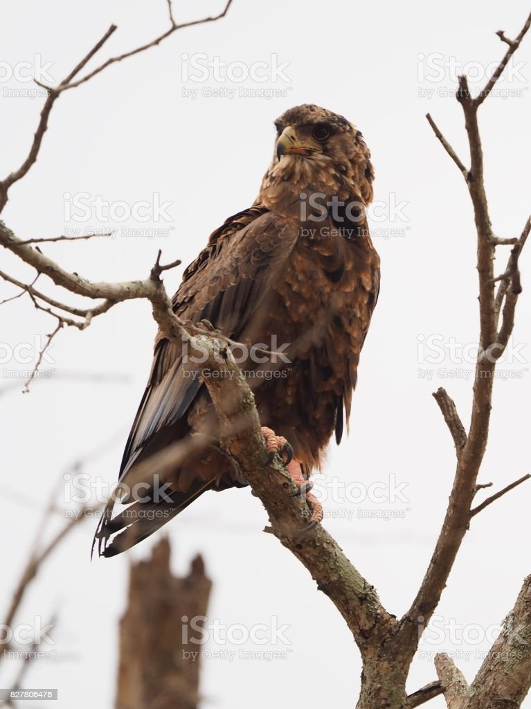 Wahlberg eagle perched on a branch stock photo