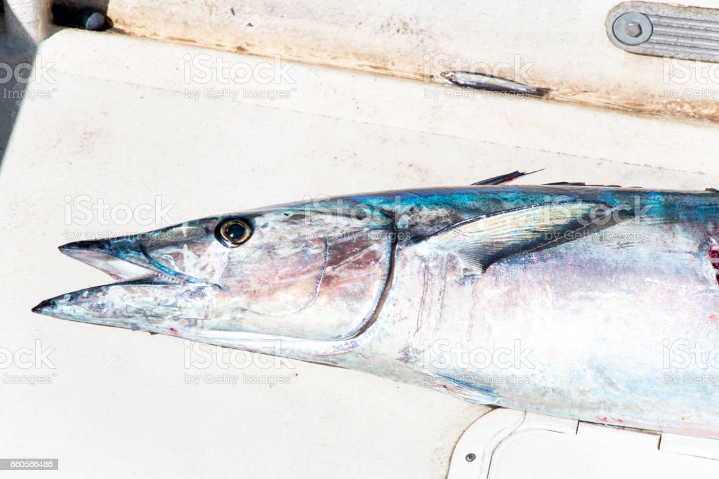A Wahoo Fish on Deck - foto de acervo