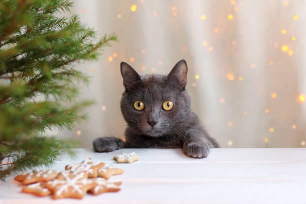 wartenden lieblingsgericht - katze weihnachten stock-fotos und bilder