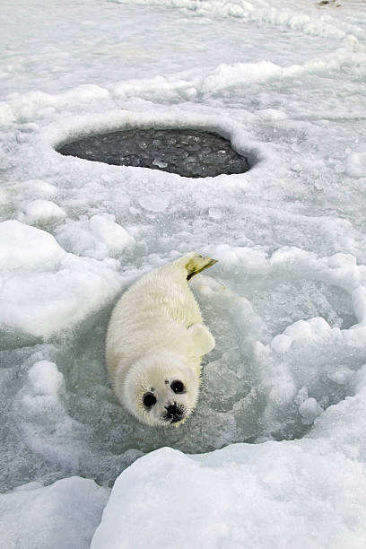 Waiting for Mom  seal pup stock pictures, royalty-free photos & images