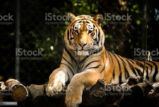 Waiting tiger picture id175593603?b=1&k=6&m=175593603&s=612x612&h=xbfm0dki0va13pwwtlxeqegbzmemfgsgw5 3jvlbkps=