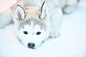 Closeup of a pet husky dog lying on snow outdoors