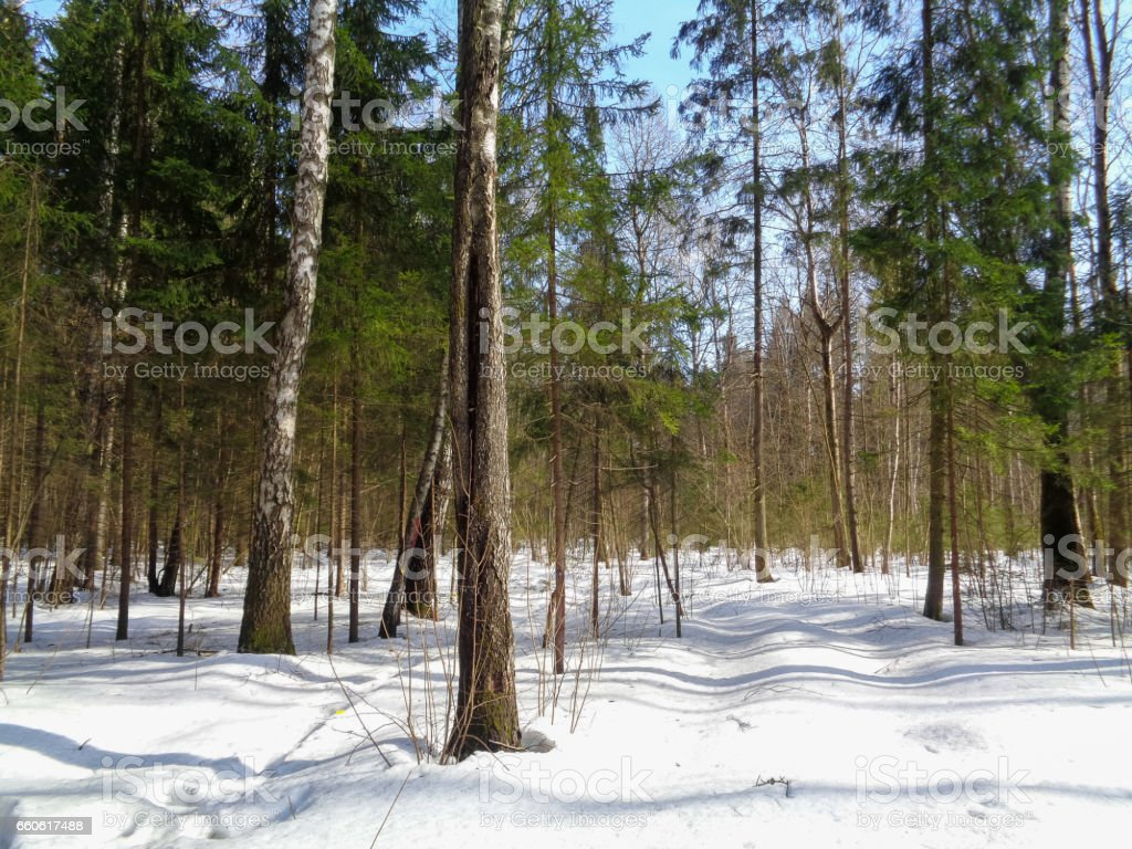 Waking up to springtime in winter forest. Nature of North Asia royalty-free stock photo