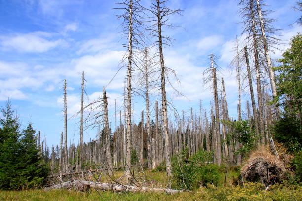 Waldfläche im Harz im Sommer 2018, der vom Borkenkäfer befallen ist stock photo