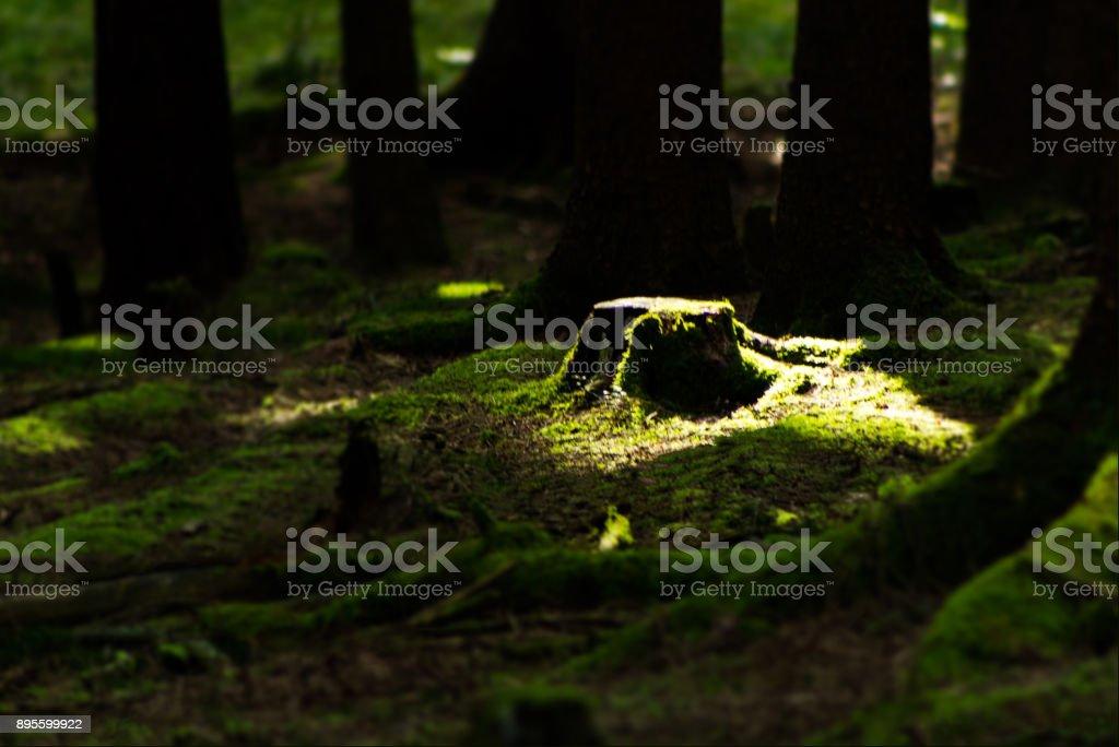 Waldlicht – Foto