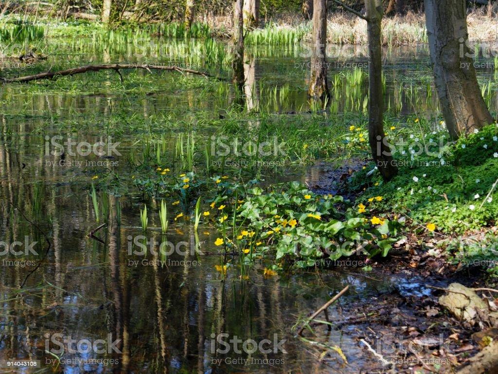 Waldsee im Frühling mit Supfdotterblume und Annemonen stock photo