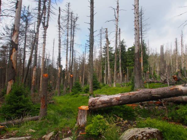 Waldsterben im Harz, Neustart der Natur stock photo