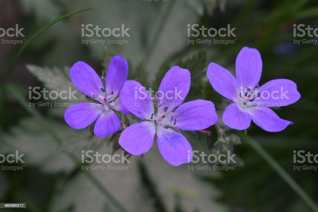Waldstorchschnabel - Royalty-free Blad Stockfoto