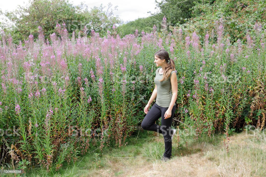 Walk in the countryside with tall pink fireweed flowers stock photo