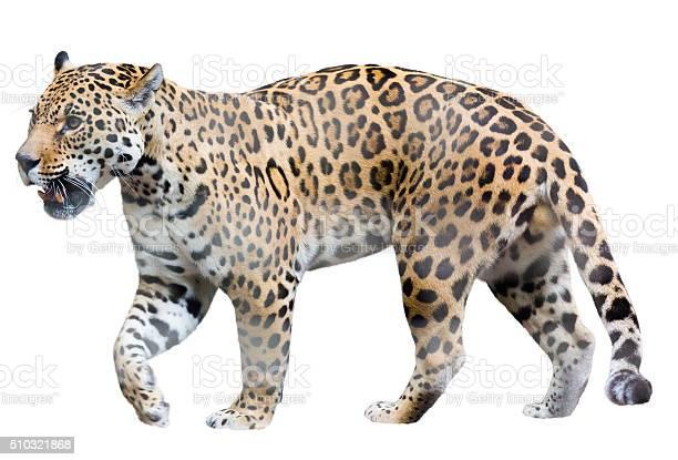 Walk jaguar picture id510321868?b=1&k=6&m=510321868&s=612x612&h=roai1fvp9z3qz2ioggmbqjwnede2wxqmz3tnrc0uliq=