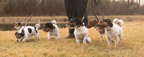 walk with many dogs - pack jack russell terrier - cat leash stock photos and pictures