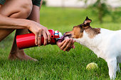 Purebred Jack Russel Terrier outdoors in nature on grass meadow on summer day. Having fun playing in outdoors. Dog days of summer. Time to drink water. Pet Health Care. Friendship, togetherness.