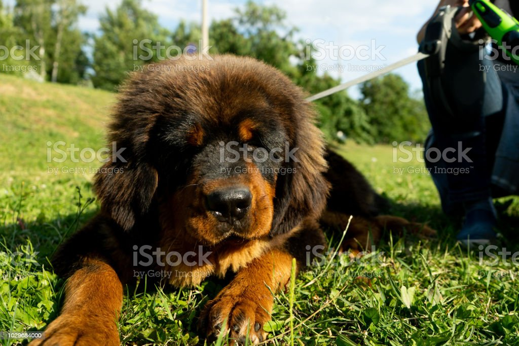 Walking A Tibetan Mastiff Puppy In A Green Park Stock Photo - Download  Image Now