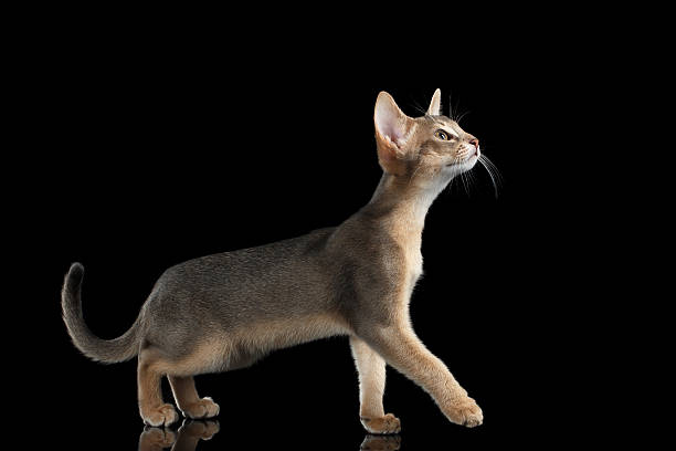 Walking abyssinian kitten isolated on black background side view picture id511868066?b=1&k=6&m=511868066&s=612x612&w=0&h=dokrqnrock31h7stlly8bnppzctvhz imncsnzdfbuk=