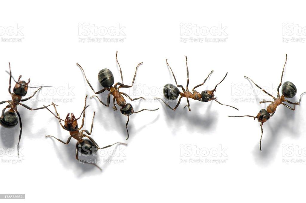 Walking ants stock photo