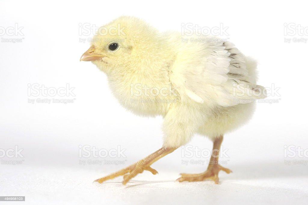 Chick chick chick