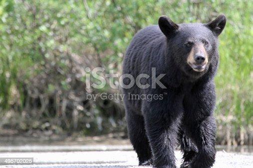 Wet walking black bear near lake.