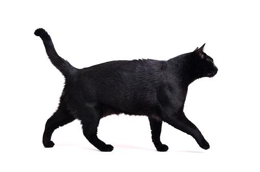 Walking black cat on white