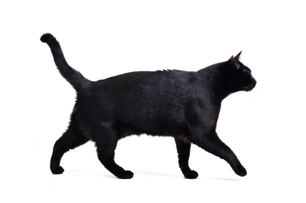 Walking black cat on white picture id924533678?b=1&k=6&m=924533678&s=612x612&w=0&h=reje2kwf8nmghkkvwuyzti9gxnivhhiym9zkrhiokcs=