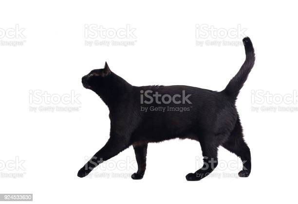 Walking black cat picture id924533630?b=1&k=6&m=924533630&s=612x612&h=x5x8foadtofag1suoy2ate ahp9psfvb4ewzmw1a1xq=